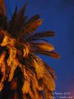 Palmiers marseillais