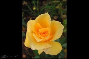 Heart of a Rose. (Lyon, France, septembre 2003.)