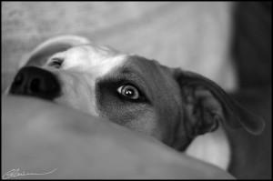 Patch, chien méchant. (St-Mathieu-du-Parc, Québec, janvier 2008)