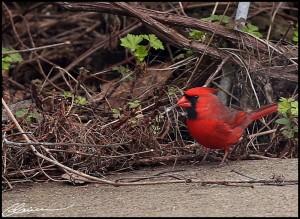 20140505_cardinal-05fb